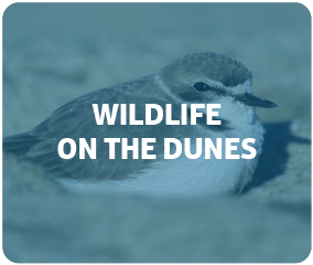 Wildlife on the Dunes